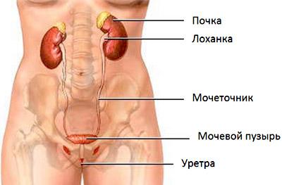 болезни внутренних органов – почки